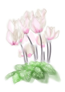 シクラメンが咲いたよ